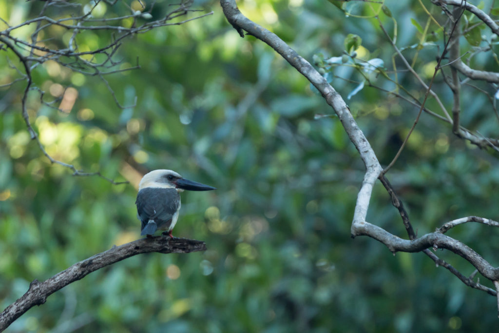 Black billed kingfisher(Pelargopsis melanorhyncha).