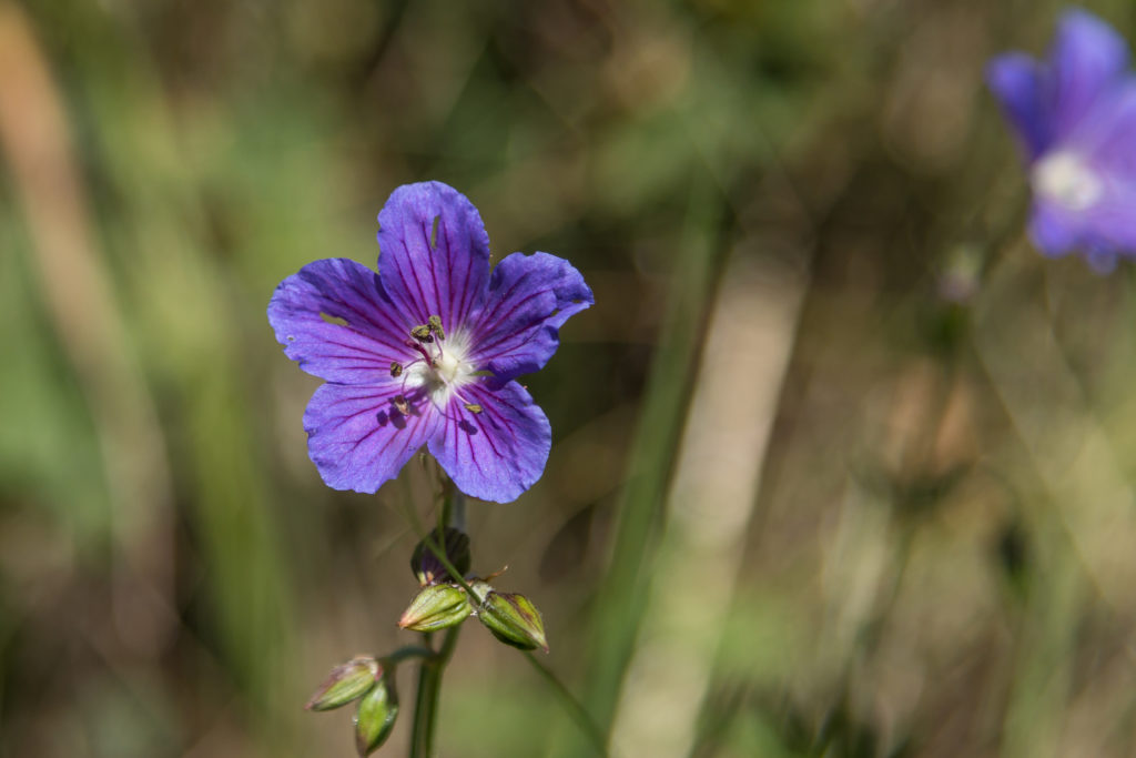 Flower in Ala Archa National Park
