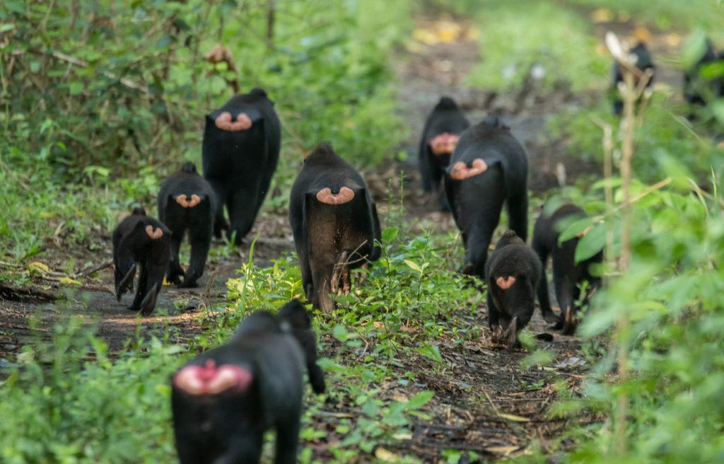 Black Macaques (Macaca nigra)