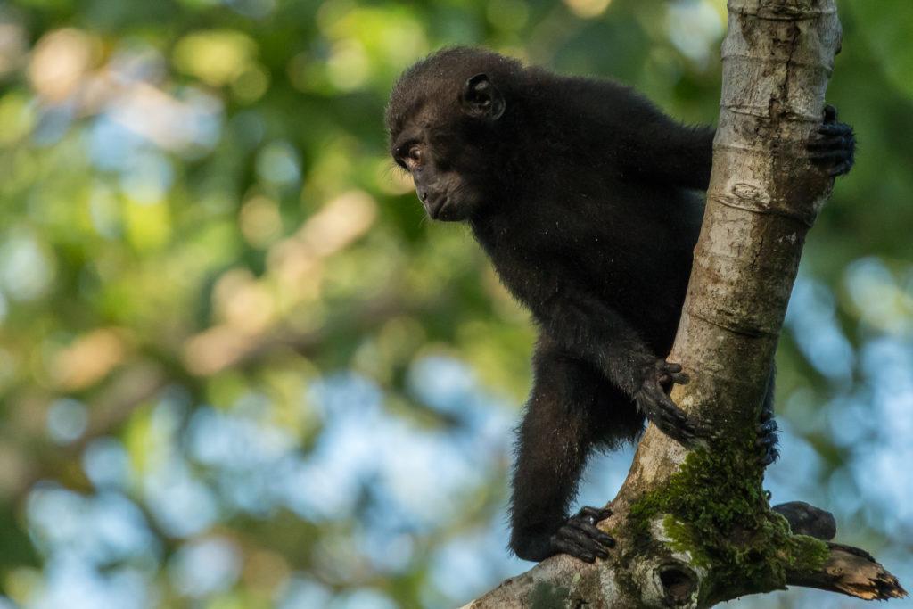 Young Black Macaque (Macaca nigra)