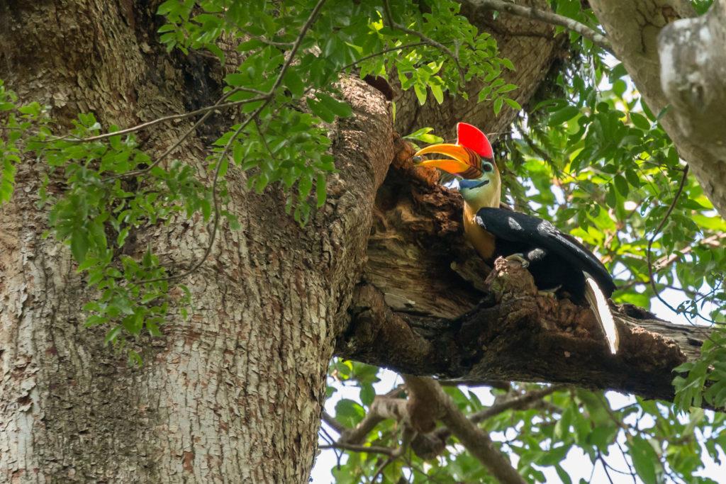 Sulawesi wrinkled hornbill (Rhyticeros cassidix)