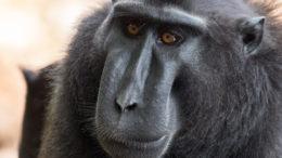 Black Macaque - Tangkoko National Park