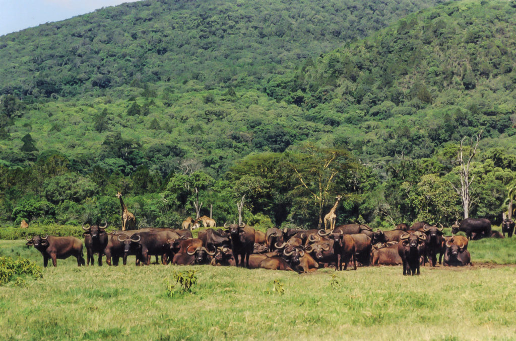 Buffalo herd in Arusha National Park