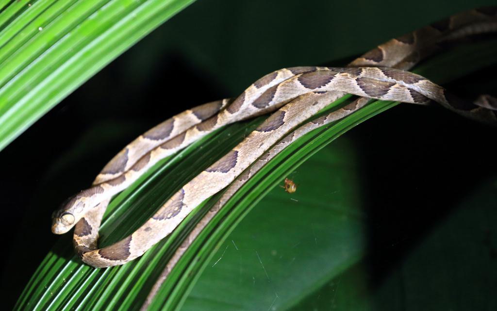 Cat eyed snake (Leptodeira septentrionalis)