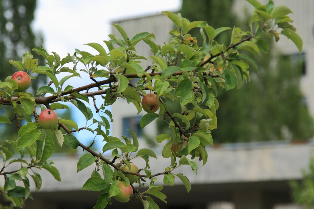 Poison apples growing in Pripyat, Chernobyl
