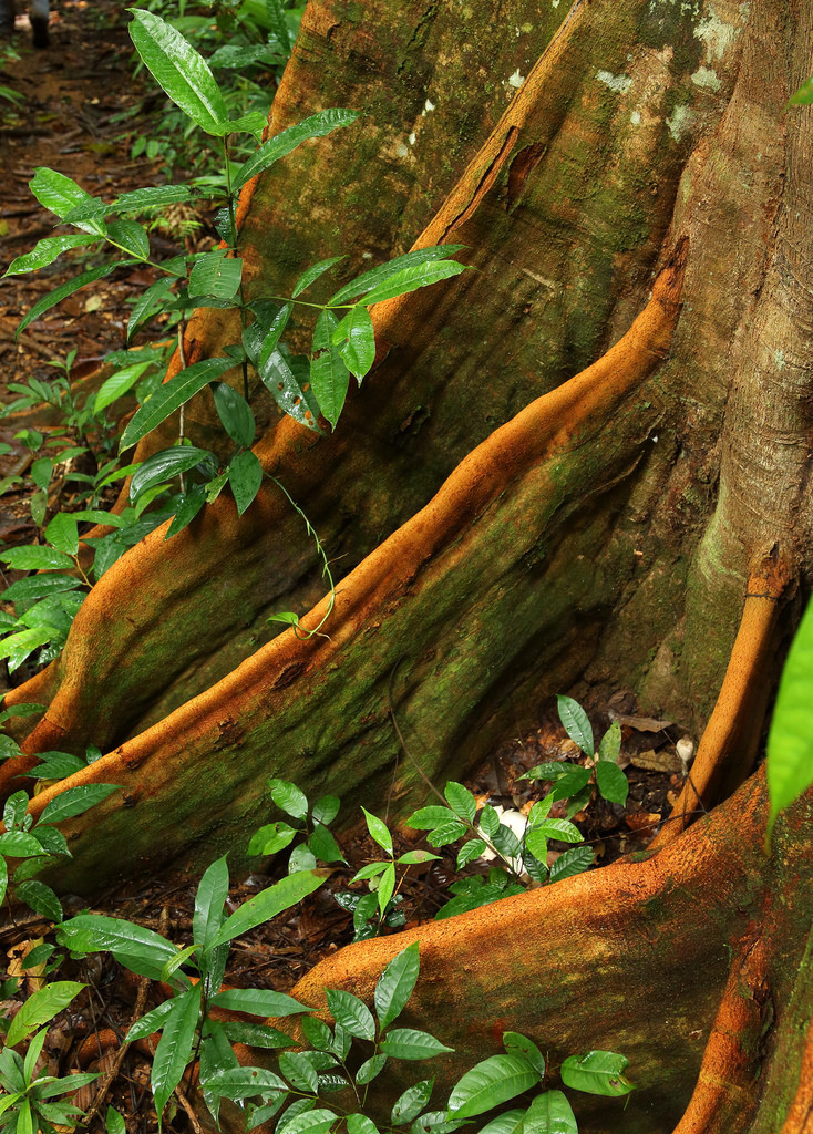 Tree roots, Corcovado