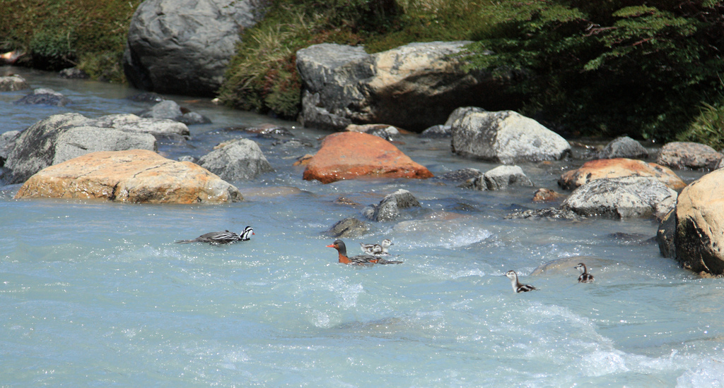 Ducks in Rio del Diablo