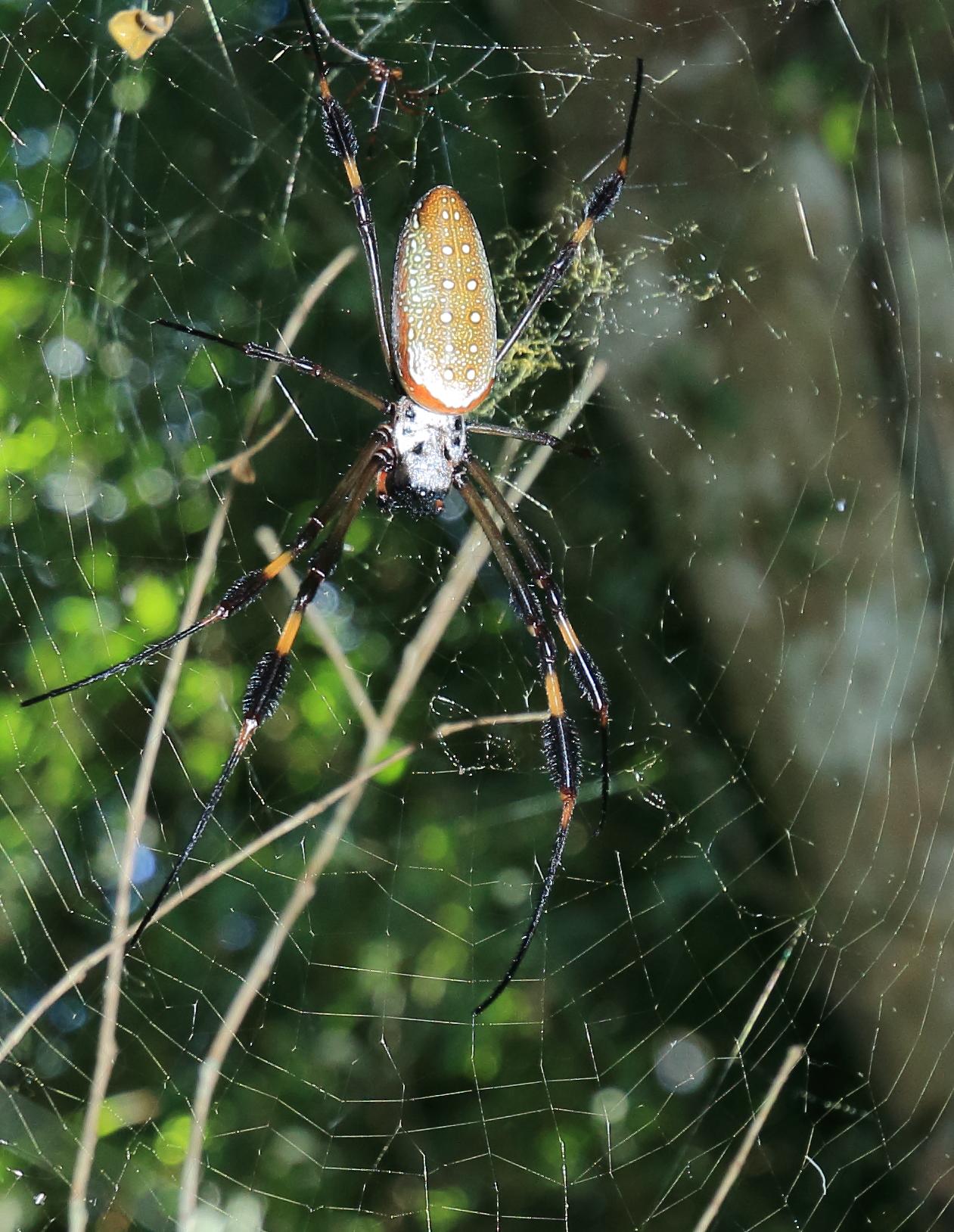 Spider in El Imposible