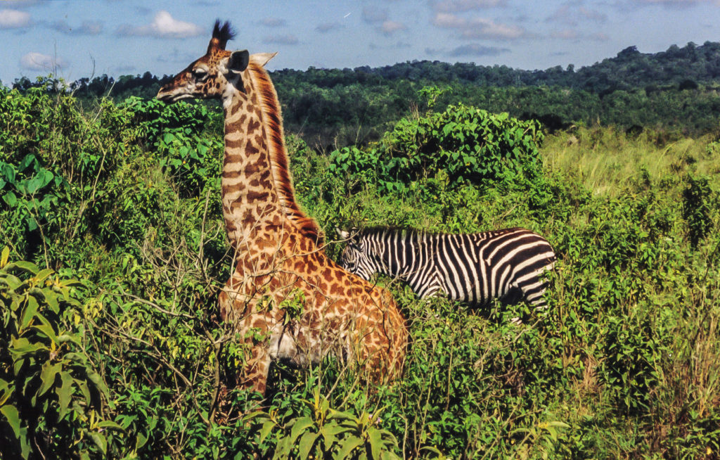 Zebra and giraffe in Arusha National Park