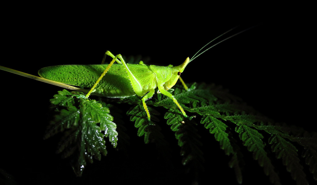 Katydid at night, Drake Bay