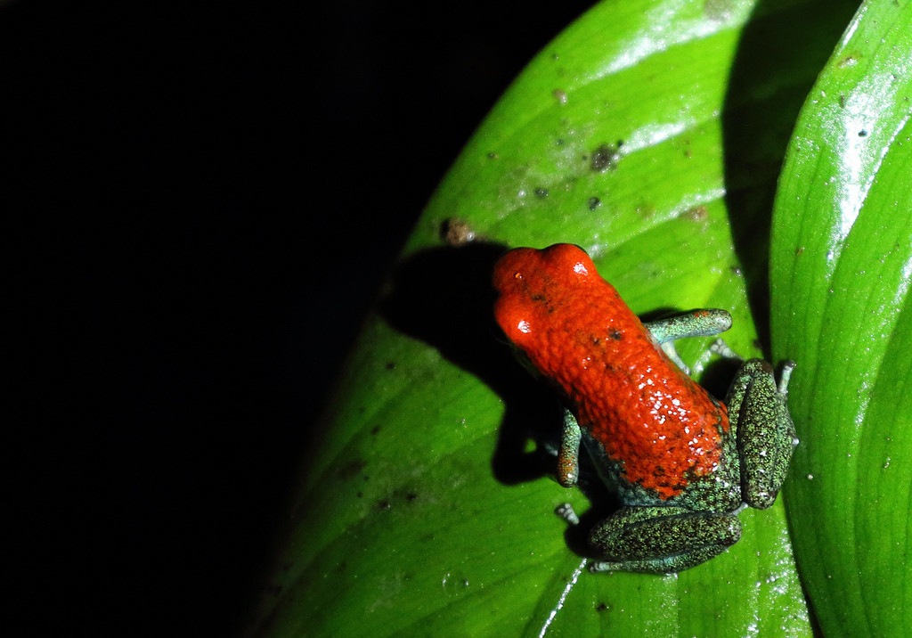 Red and green poison frog