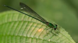 Taman Negara dragonfly