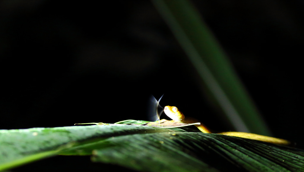 Yellow snake at night in Manuel Antonio