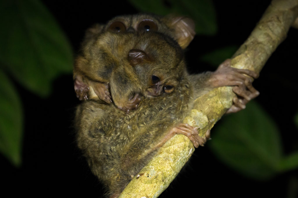 Tarsier in Tangkoko National Park