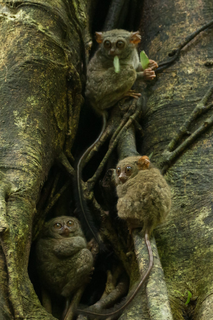 Tarsiers in Tangkoko National Park