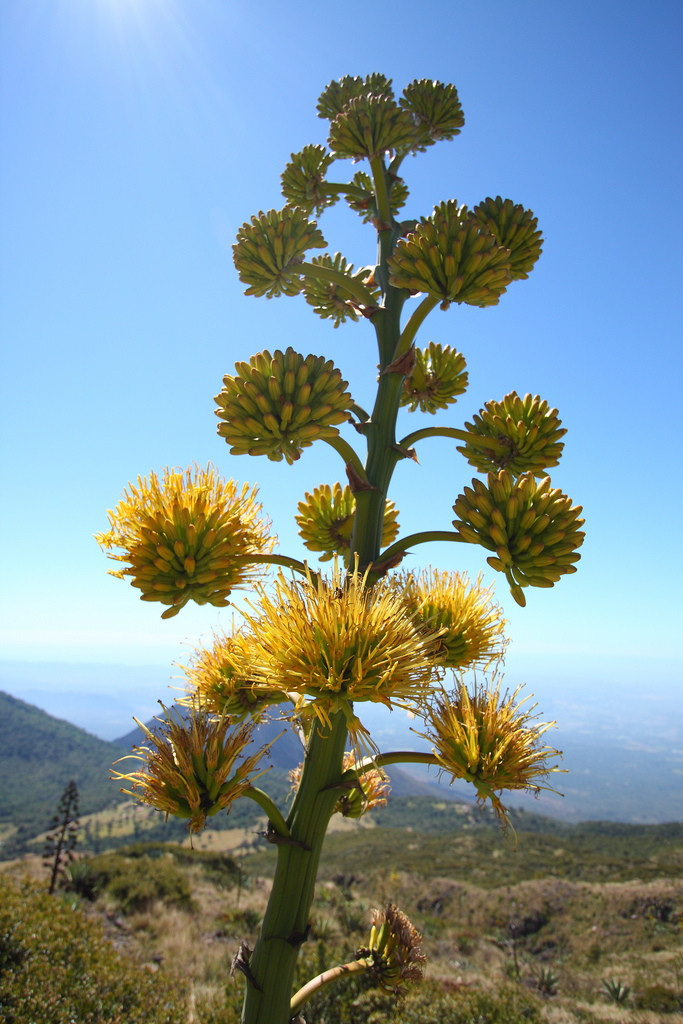Agave plant flowering