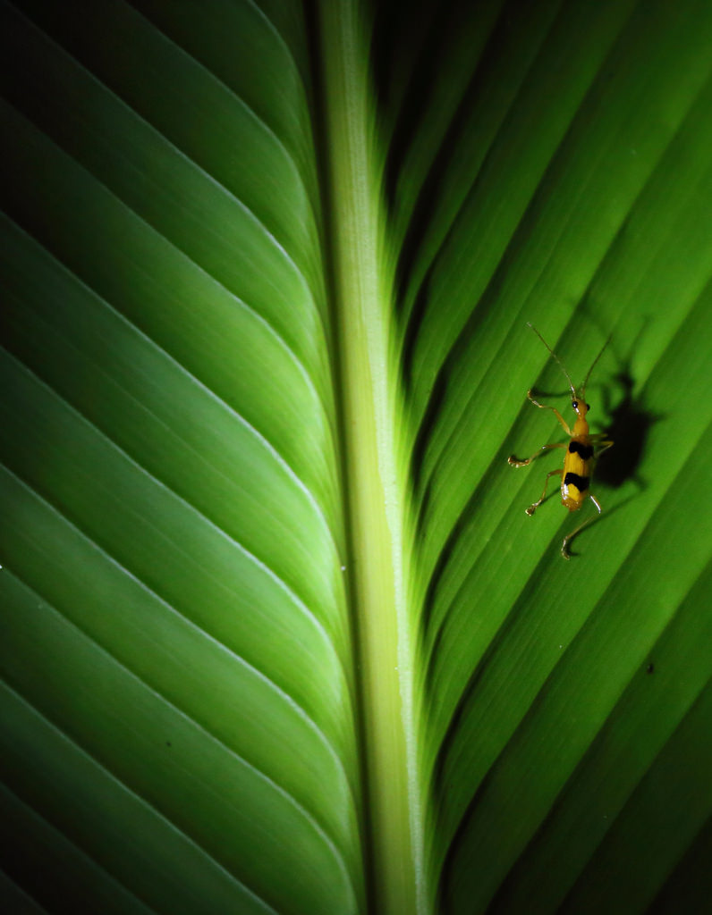Small yellow insect on a leaf at night, Manuel Antonio