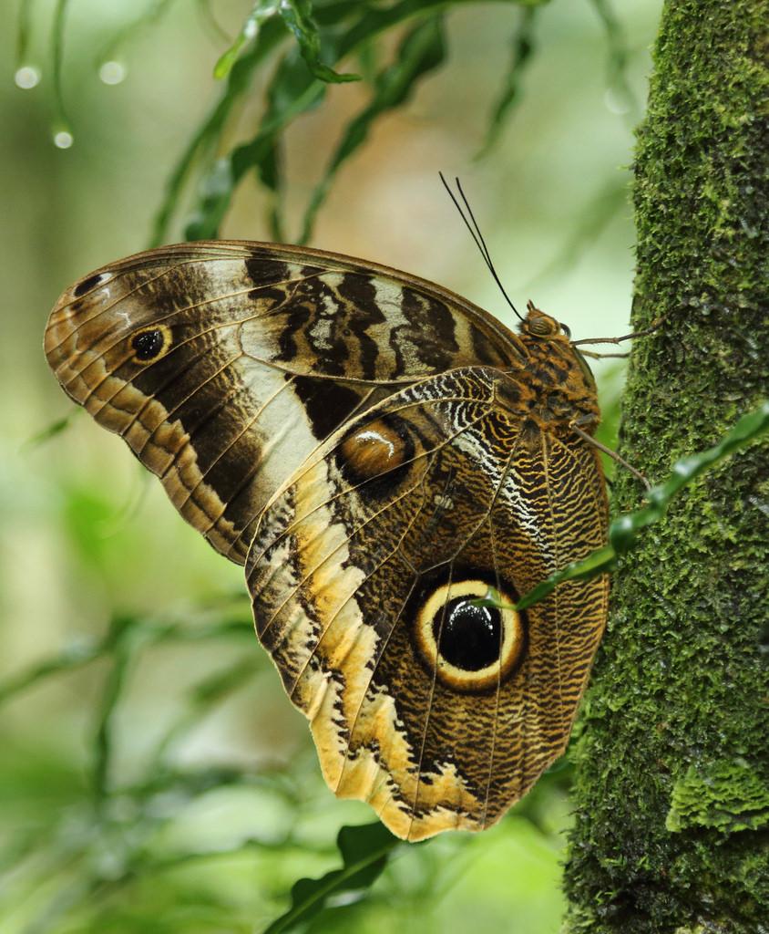 Butterfly in Manuel Antonio Butterfly Gardens