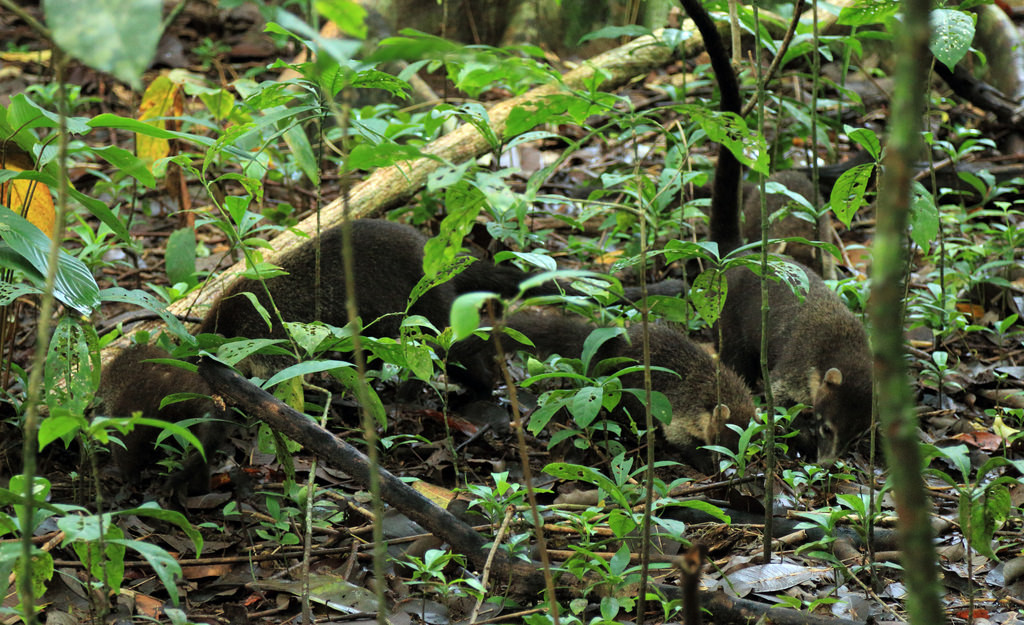 Coati family, Corcovado National Park