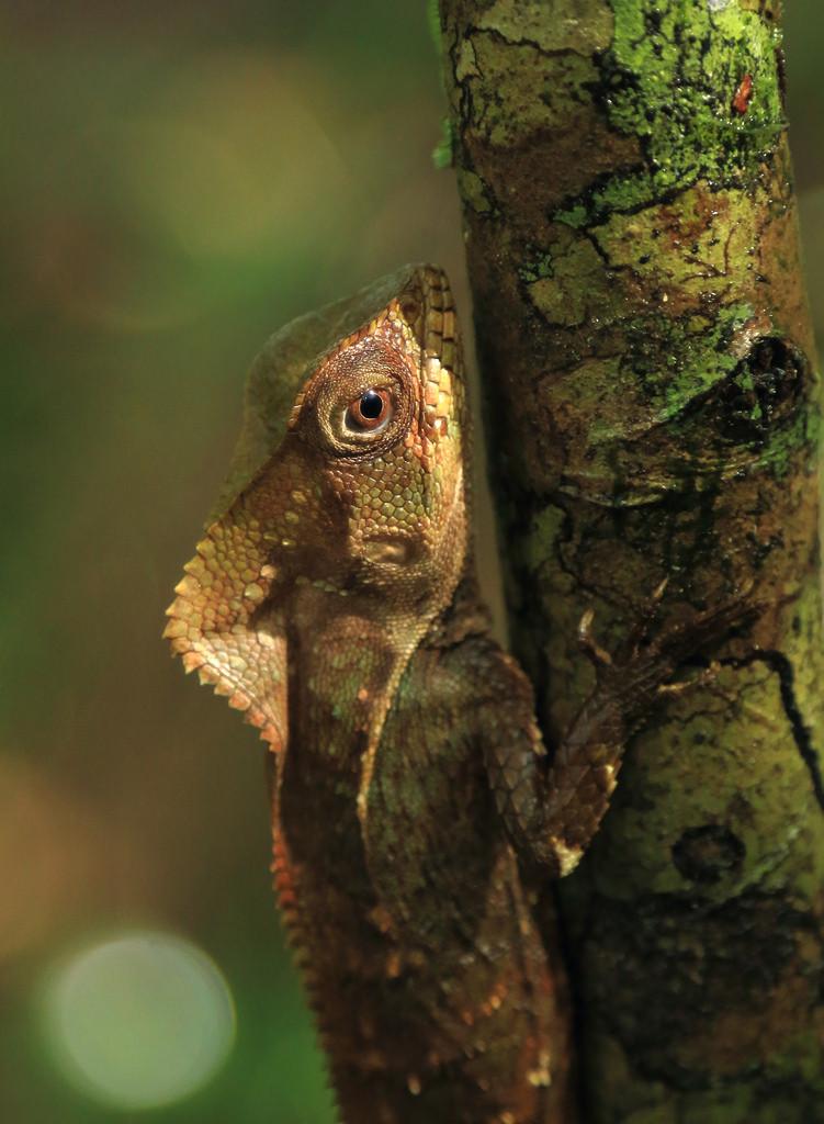 Lizard on tree in Corcovado