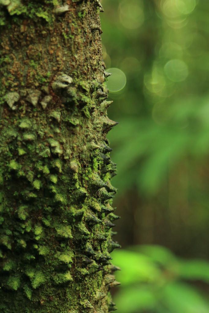 Defensive spikes on tree