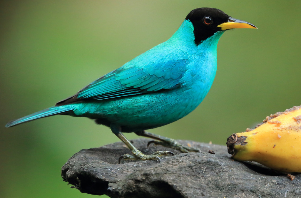 Green honeycreeper (Chlorophanes spiza)