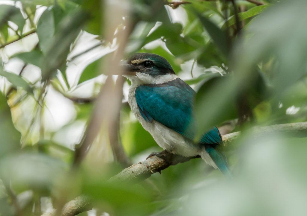Kingfisher in Sungei Buloh