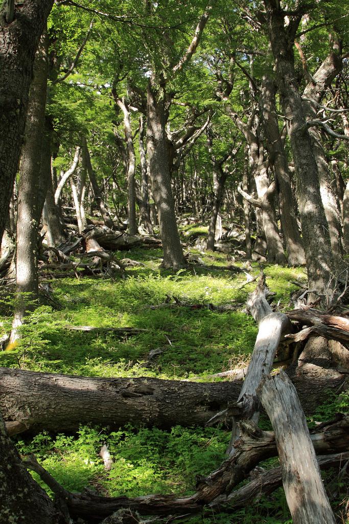 Magellanic forest
