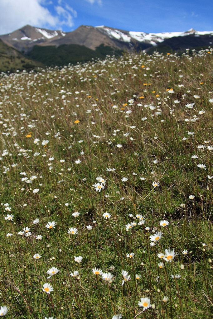 Daisies in meadow, Torres del Paine