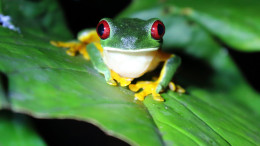 Red eyed tree frog (Agalychnis callidryas) at night