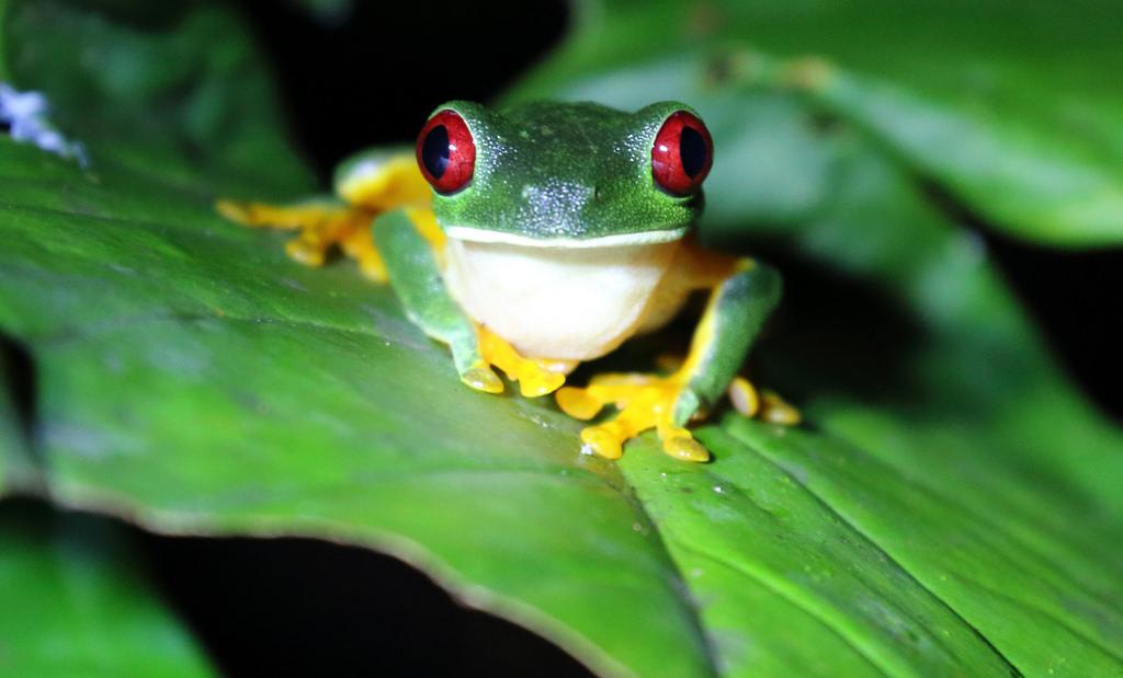 Red eyed tree frog (Agalychnis callidryas) at night