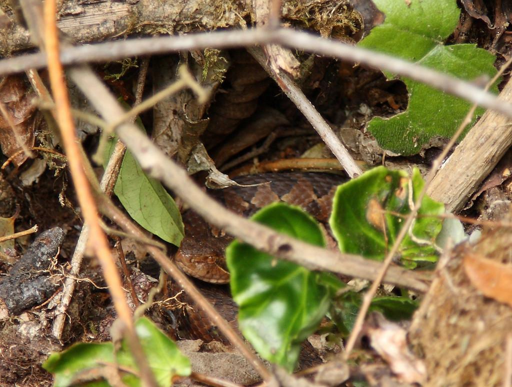 Snake hiding in Montecristo National Park