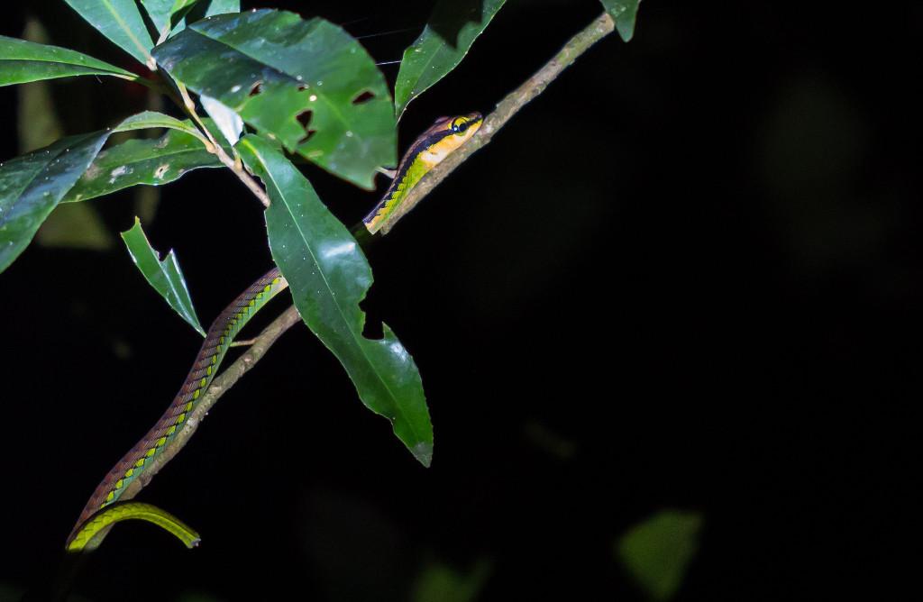 Taman Negara snake