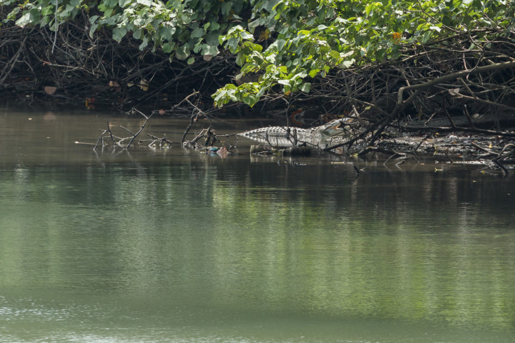 Crocodile in Sungei Buloh