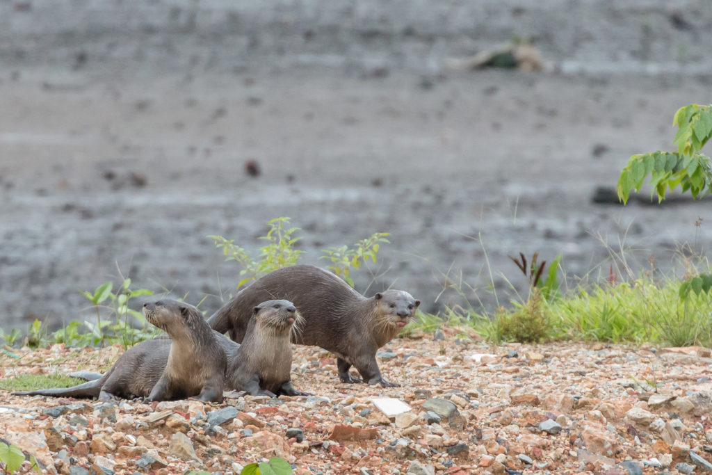 Otters playing and hunting in the mud flats area