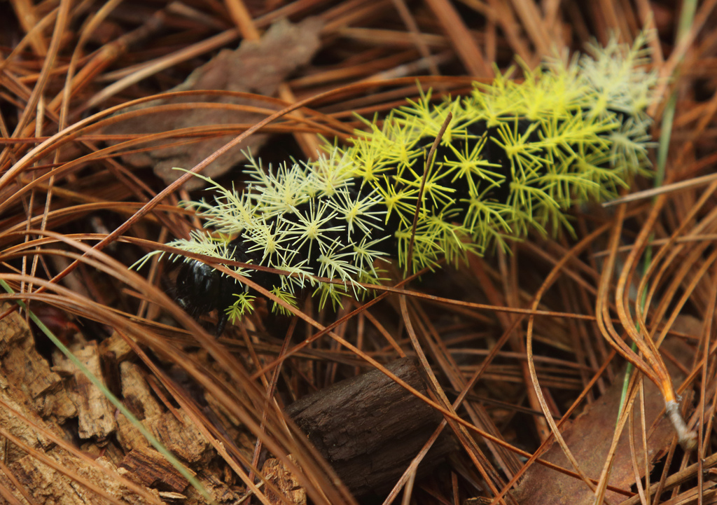 Yellow caterpillar, Celaque